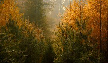Nebliger Kiefernwald an einem schönen Herbsttag von Sjoerd van der Wal