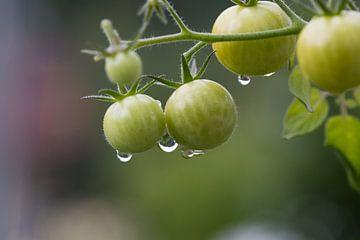 Unreife Mini-Tomaten hängen im Biogarten am Paradeiser-Strauch.