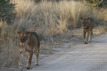 Leeuwen aan de wandel in Paul Krugerpark Zuid Afrika van