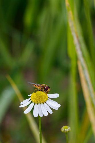 Biene und Gänseblümchen.