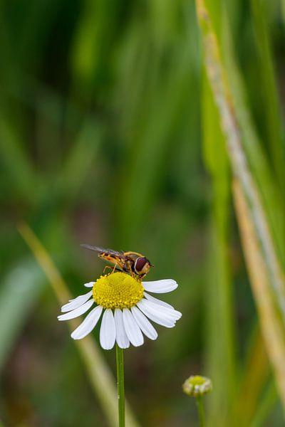 Biene und Gänseblümchen. von Anjo ten Kate