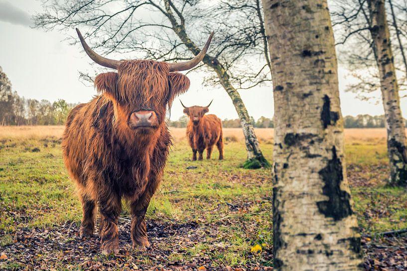 Schotse Hooglanders op Jiltdijksheide (Westerkwartier) van Martijn van Dellen