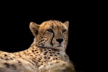 Cheetah, Jachtluipaard in portret van Gert Hilbink