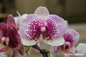 Maanorchidee Phalaenopsis van Koos Koosman