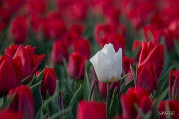 Solitary Tulip van Ina Muntinga