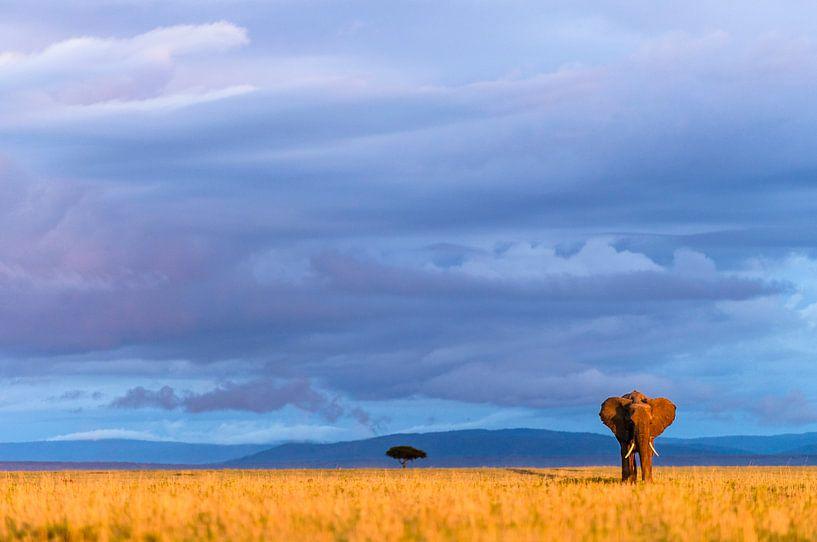 Savanne olifant in het laatste warme zonlicht van jowan iven