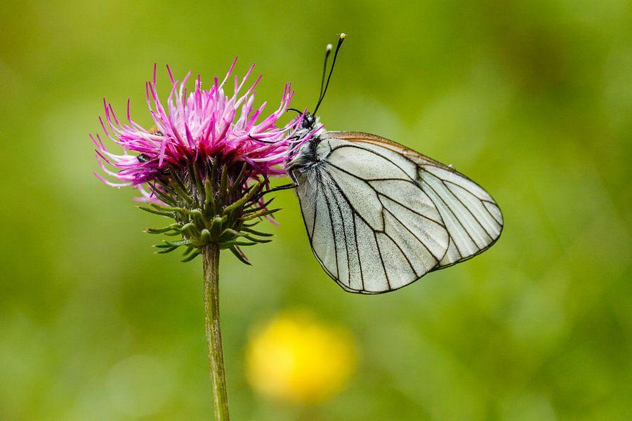 Witte vlinder op roze bloem. Groot geaderd witje op distel