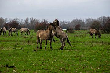 Konik-Pferde von Joelle van Buren