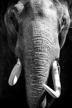 Asiatischer Elefant mit großen weißen Stoßzähnen, der direkt in die Kamera schaut von Sjoerd van der Wal