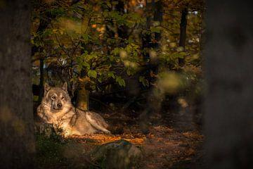 Wolf in de avondzon van