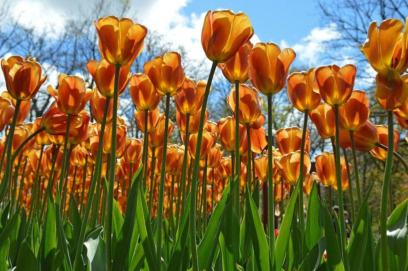 tulpen van Fraukje Vonk