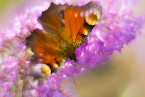 La beauté colorée du papillon paon