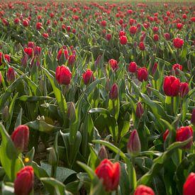 Rode tulpen van Anita Loos