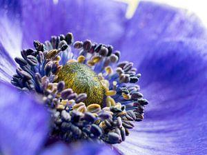 Bloem Anemoon Blauw Geel Close-up Macro van