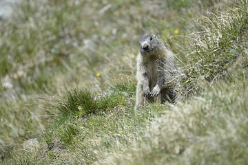 Austrian Murmeltier, Alpenmarmot van Lars Scheve