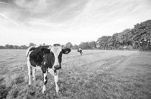 Koe in Nederlands weiland (zwart-wit)