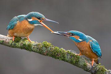 IJsvogel visoverdracht gefotografeerd in het Gooi van Jeroen Stel