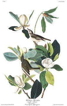 Orpheusvireo van Birds of America