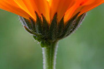 Oranje bloem von Evelyne Renske