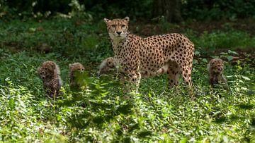 Gepard oder Geparden: Königlicher Bürgerzoo von Loek Lobel