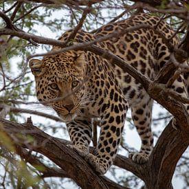 Jachtluipaard in een boom. van Arthur van Iterson