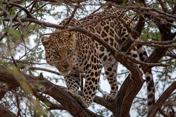 Jachtluipaard in een boom. von Arthur van Iterson