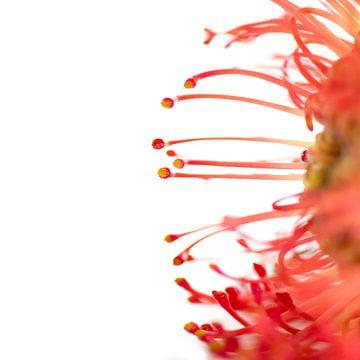 Bloem rood von Ernie van Beek