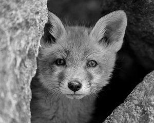 Dieser junge Fuchs fragt sich, wer ihn beobachtet von Patrick van Bakkum