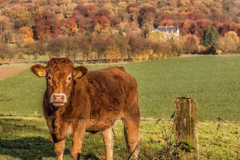Nieuwsgierig kalf in Zuid-Limburg van John Kreukniet