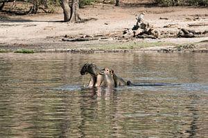Nijlpaard (Hippopotamus amphibius) met open mond in de Okavango-delta