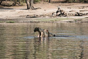 Nijlpaard (Hippopotamus amphibius) met open mond in de Okavango-delta van Tjeerd Kruse