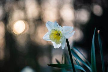 narcis in het zonnige bos van Tania Perneel
