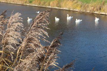 siergras naast het water van Rosalie Broerze