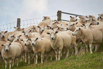 Texelse schapen von Ad Jekel