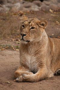 Leeuwin vrouwtje is een grote roofzuchtige sterke en mooie Afrikaanse kat.
