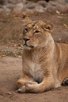 Das löwenlose Weibchen ist eine große räuberische, starke und schöne afrikanische Katze. von Michael Semenov