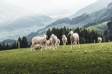Moutons dans la verte prairie de Pinzgau sur Daniel Kogler