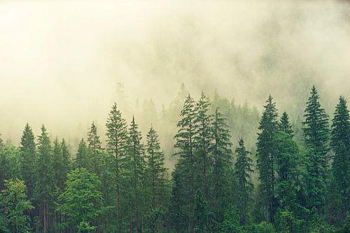 Naaldbos in de mist van