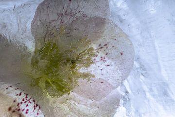 Lenzrose in Eis 3