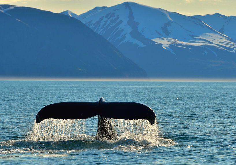 Wal vor Island von Koen Hoekemeijer