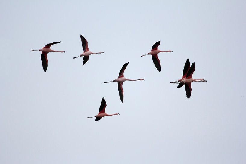 Vliegende flamingo's van Ronald Jansen
