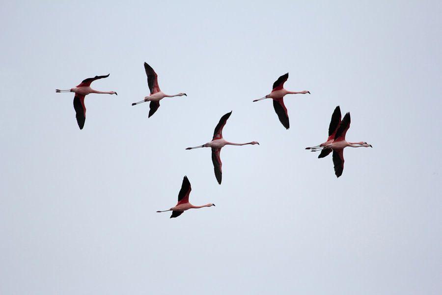 Vliegende flamingo's