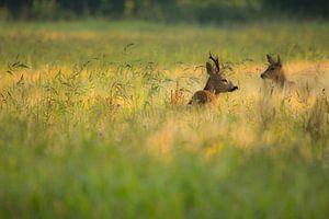Ree in het gras van