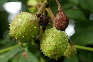 Kastanjevrucht aan boom van Alfred Stenekes