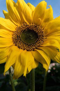 Zonnebloem van Leonie Boverhuis