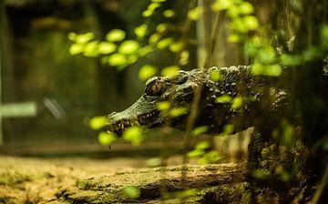 Krokodil von Dirk Herdramm