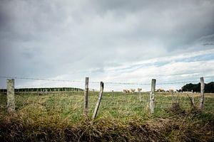 Weiland met koeien en dreigende wolken