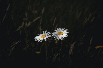 Zwei kleine Gänseblümchen von Sandra Hazes