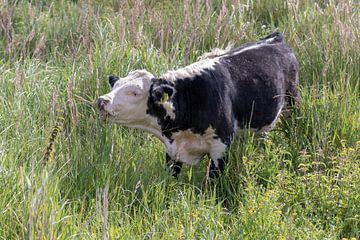 Schwarz-weiße Kuh von Anjella Buckens