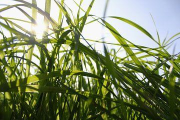 Silhouet van hoog gras in april met contrasterend zonlicht van Maarten Pietersma